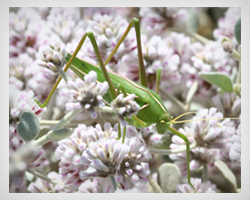 a study on orthoptera Grasshoppers (orthoptera) 383 dop, degenerate oligonucleotide-primed dpx, distrene 80, plasticizer, xylene dtt, dithiothreitol dttp, deoxythymidine triphosphate.
